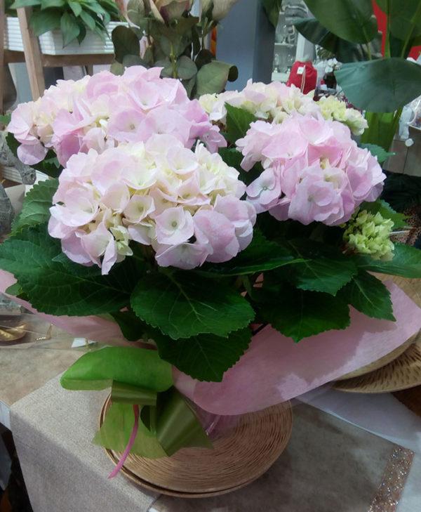 Hortensia día de la Madre